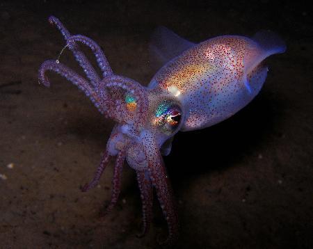blæksprutter i danmark